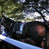 England Gets A Taste Of Black Caviar